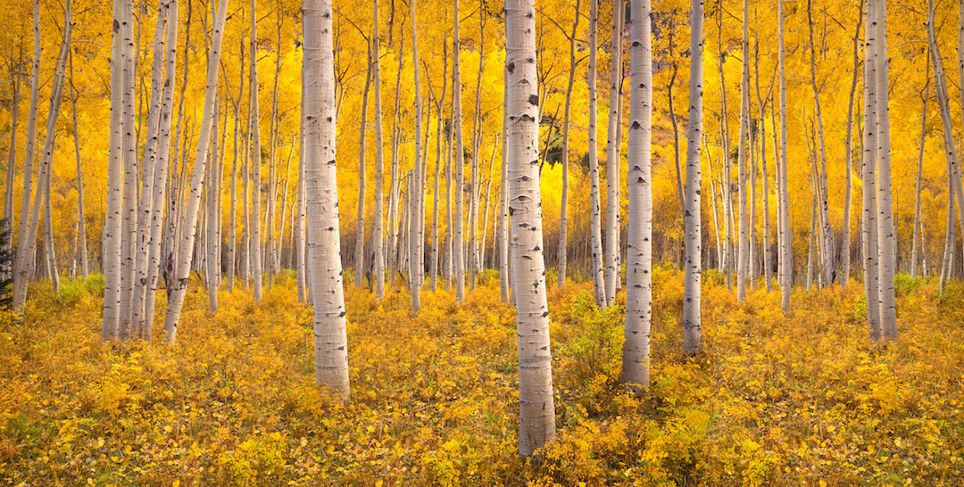 Autumn aspen tree forest in the Rocky Mountains, Colorado