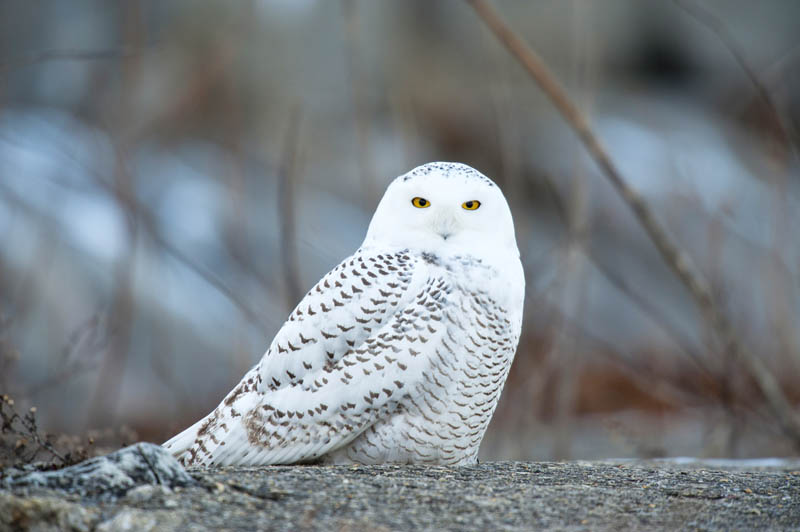 snowy owl nature