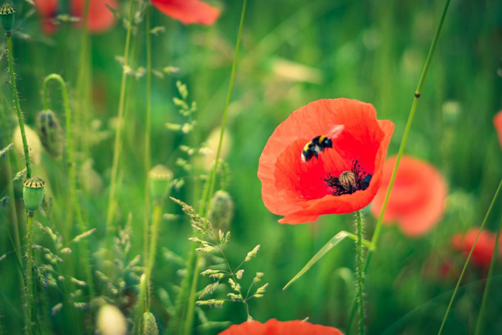 Help Bees Thrive with These 10 Medicinal Plants Poppy Bastyr University