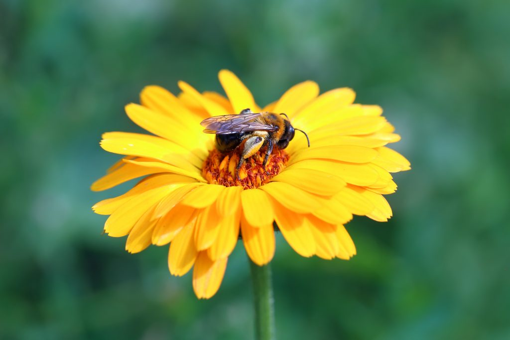 Help Bees Thrive with These 10 Medicinal Plants Calendula Bastyr University