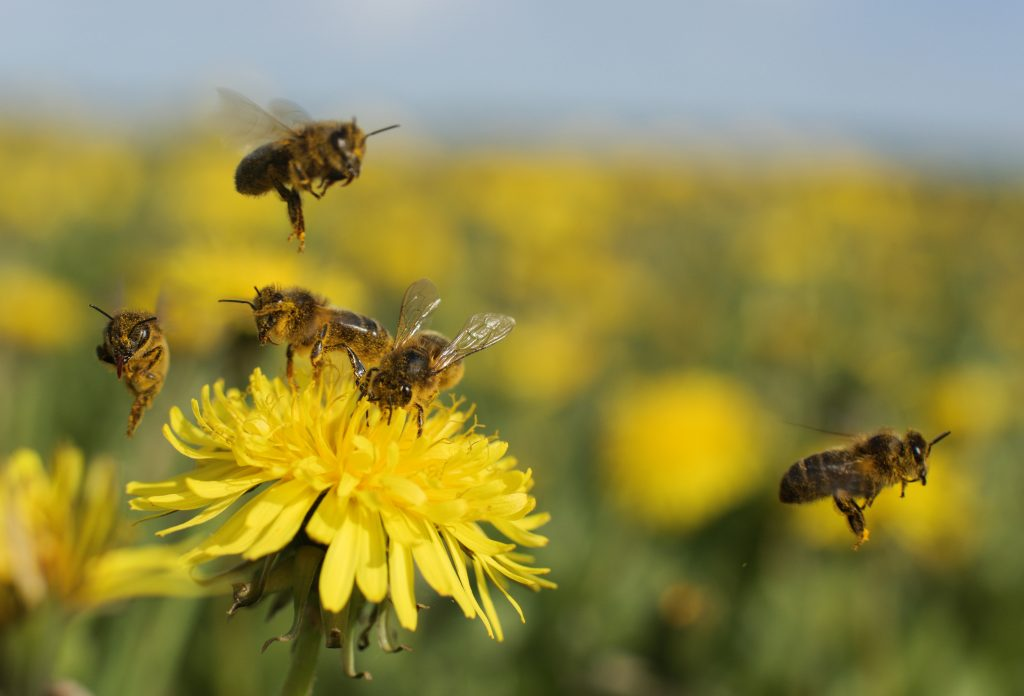 Help Bees Thrive with These 10 Medicinal Plants Dandelion Bastyr University