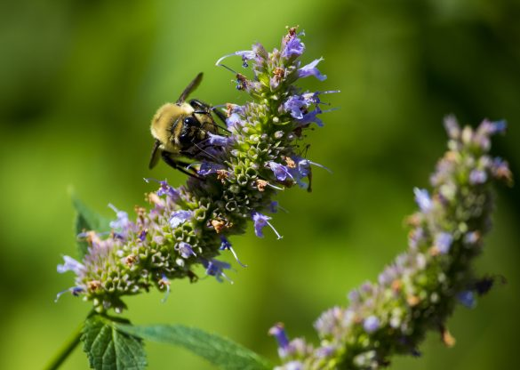 Help Bees Thrive with These Top 10 Medicinal Plants Hissup Nature